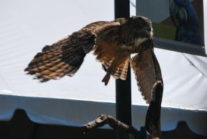 eurasian eagle owl 1.5 by meihua-stock