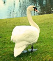 Swan IV by IQuitCountingStock