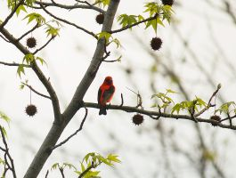 Male Scarlet Tanager May  2014  1 by toshema