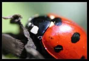 Petite coccinelle by Thelive33