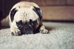 Tired Pug by garnettrules21