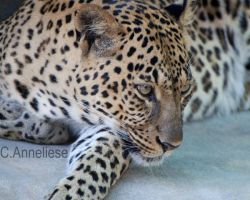 Leopard I by CaitrinXlXAnneliese