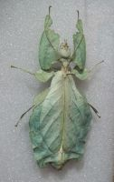 Deadly Leaf Bug by specialoftheweek