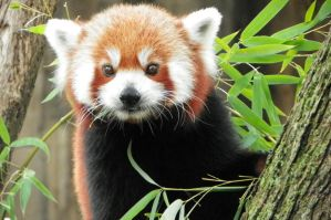 "Red Panda ""Is that a Camera?"" by DingoDogPhotography"