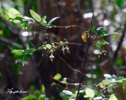 Deerberry by LilyOfTheSword