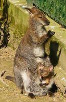 Little Wallaby Baby in her Mother's Pouch by Cloudwhisperer67