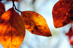 autumn leaves 20 by amiliay