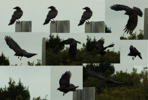 Crows by Treeclimber-Stock