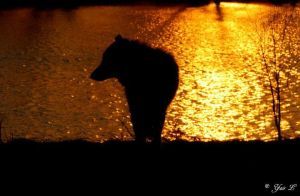 WOLF AT SUNSET by Yair-Leibovich
