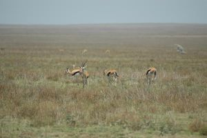Thompson Gazelles 2 by CosmicStock
