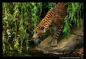 Leopard by TVD-Photography