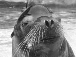 Black and White Sea Lion by LuthienNenharma