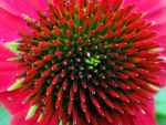 Red Cone Flower by emizael