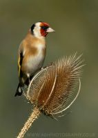 Goldfinch by Albi748