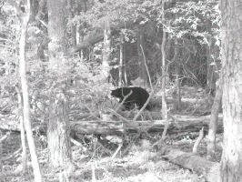 black bear 2 iR by redtailhawker