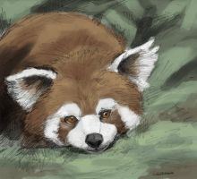 Red Panda by Zethelius