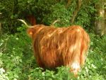 Highland cattle 17 by queenofeagles