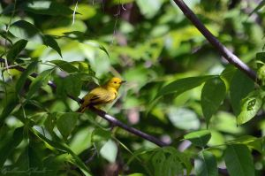 American Yellow Warbler (male) by GuillaumGibault