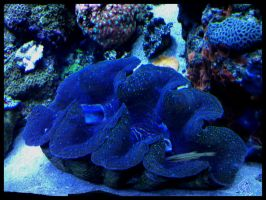 Giant Clam by sintar