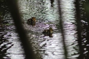 Ducklings5 by eillahwolf