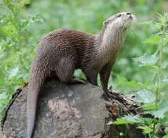 Otter.. by smithmar01