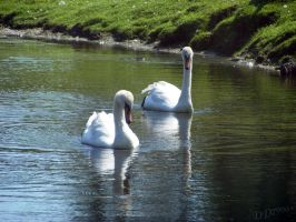 Two Swans by DD7990
