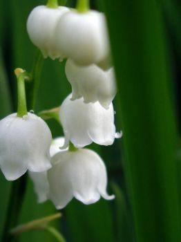 Lily of the Valley 2007 5 by beaglefan