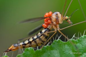 Crane fly with mites by melvynyeo