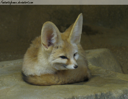 Fennec Fox by FantasticFennec