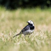 White wagtail (Motacilla alba) by paschlewwer