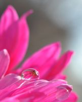 echoes of pink by nikkhidragonfly