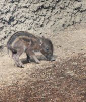 Baby warty pig stock by thiselectricheart