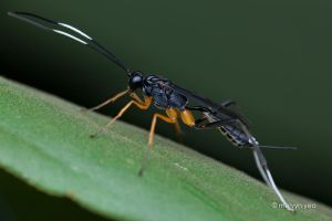 Cryptinae by melvynyeo