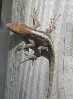 Brown Anole 20 by AxelHonoo