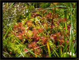 Drosera - 2 by J-Y-M