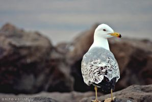 Seagull by Rouge07