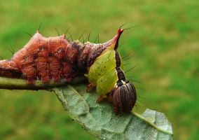 Morning-glory Prominent larvae by duggiehoo