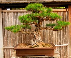 Japanese Bonsai Balanced by AndySerrano