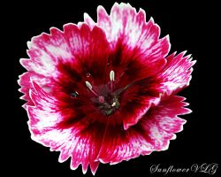 Dianthus by sunflowervlg