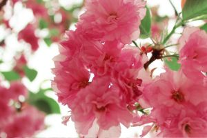 cherry blossoms 3 by Sophie-Y