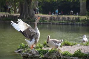 Goose charmed by the gander by A1Z2E3R