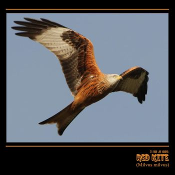 Red Kite by q-118
