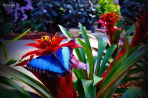 Papillon en bleu sur l'orange by hyneige