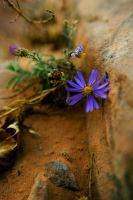 Purple flower of Moab by wetwilllie