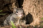 Baby squirrel at the warren's entrance by abravewolf