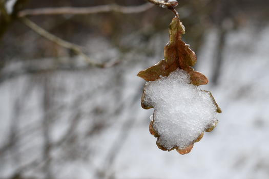Snow leaf by MvGphotography