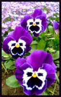 Pansies by Anawielle