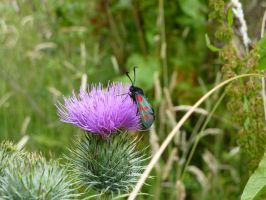 red spotted burnet moth by AmeliaBaute