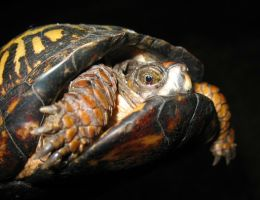 A Timid Turtle by chelseakerwath