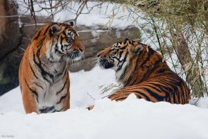 Tigers by Tygrik